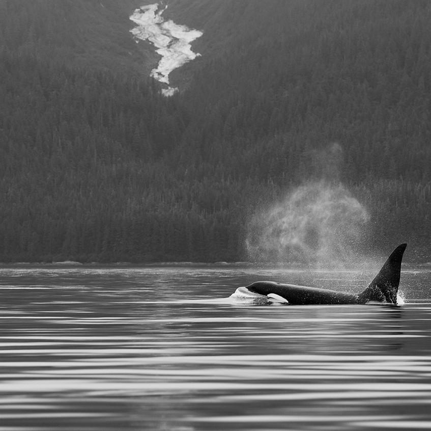 Whale BW copy