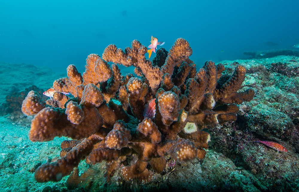 Coral of Cabo Pulmo national Park Mexico