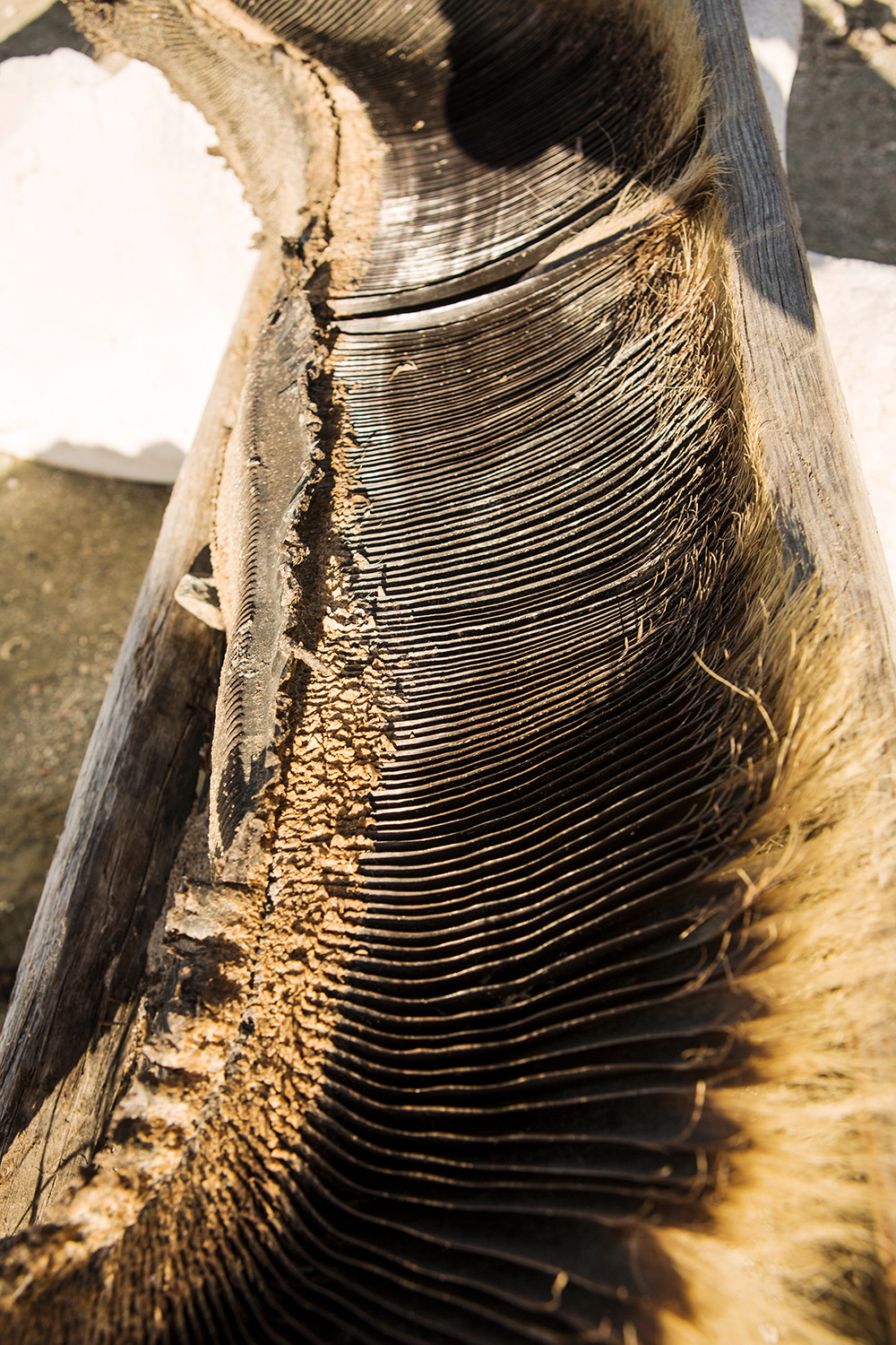 Whale Baleen Magdalena Bay Mexico