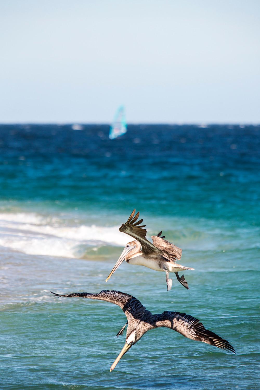 Pelicans East Cape Cabo