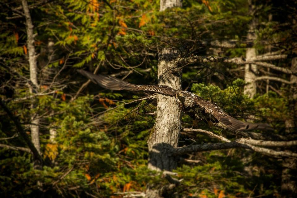 Eagle at Flight Dent island Lodge BC