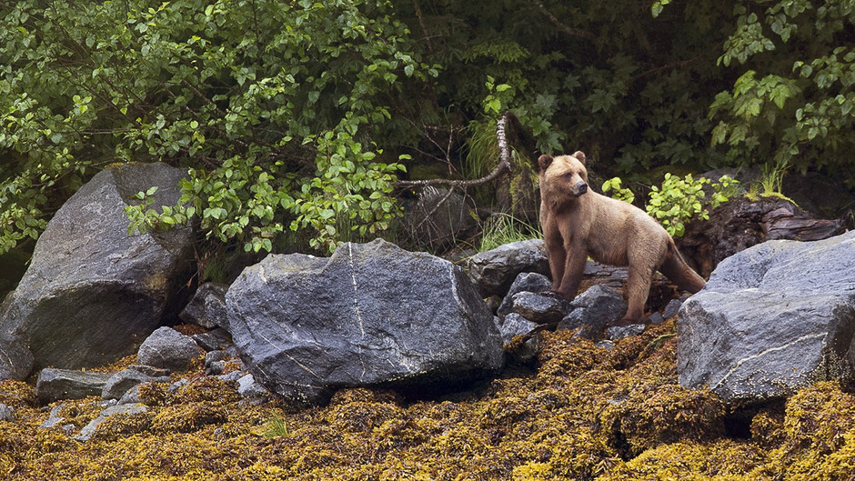 PRINCE RUPERT BC - BEAR WATCHING