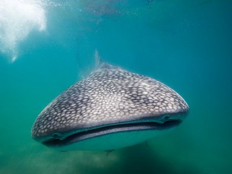 SWIMMING WITH WHALE SHARKS IN LA PAZ