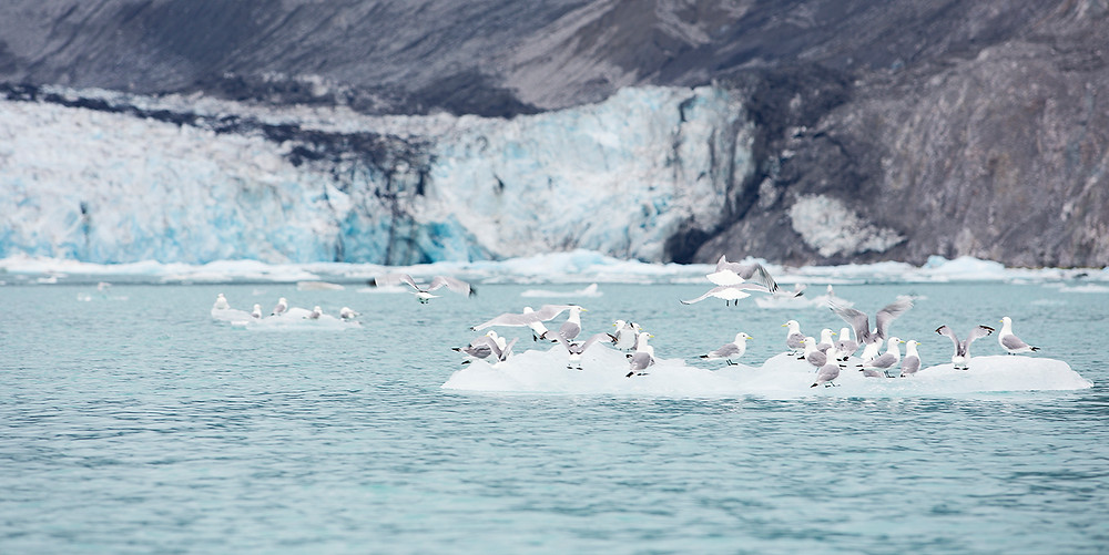 Iceberg with seagulls in Glacier Bay