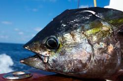 Tuna Fishing Charter Key West