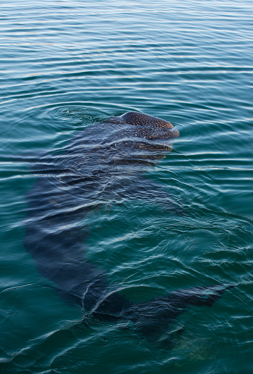 Whale Shark Swimming mexico