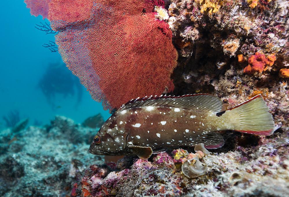 Diving Cabo Pulmo Grouper