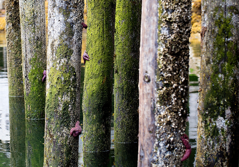 Dock pilings with starfish BC