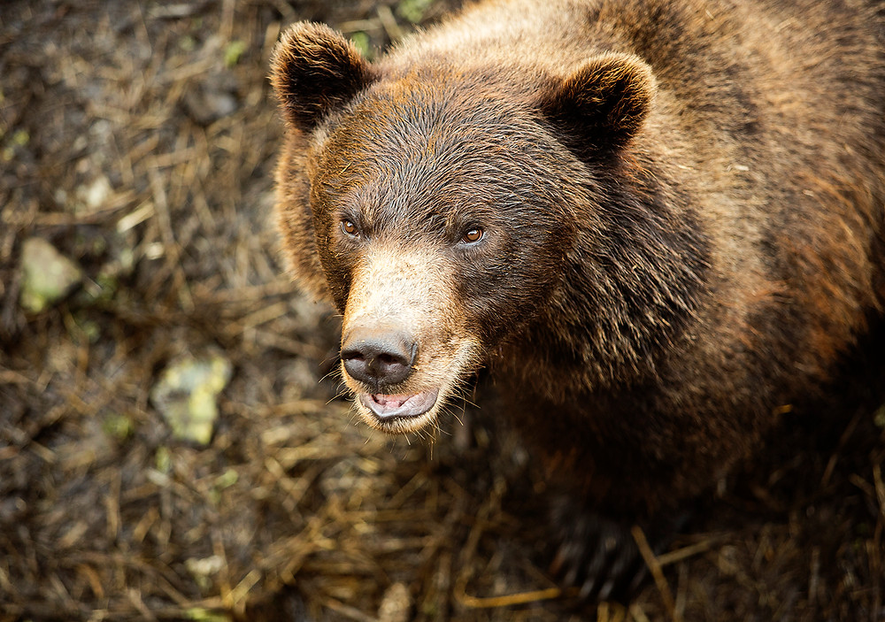 Grizzly Bear at Fortress of the Bears