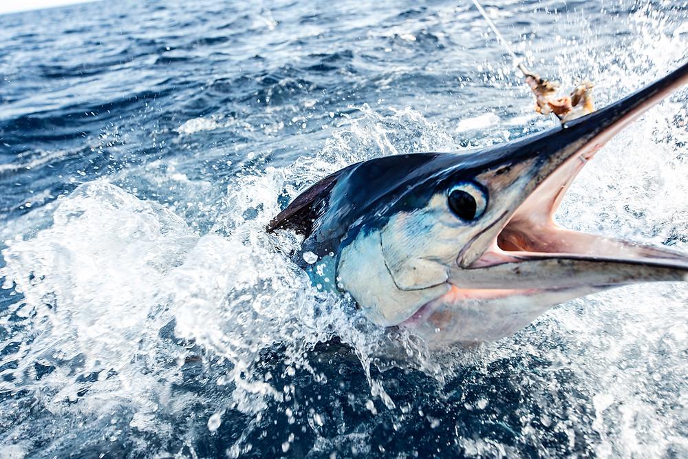 Stripe Marlin Fishing Cabo