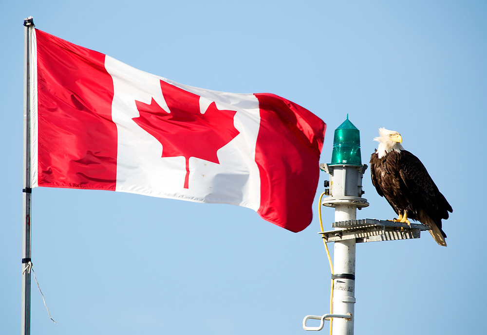 Bald Eagle and canada Flag
