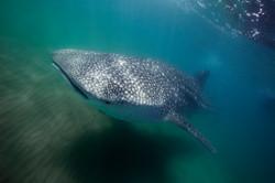 Underwater Photographer Whale Shark