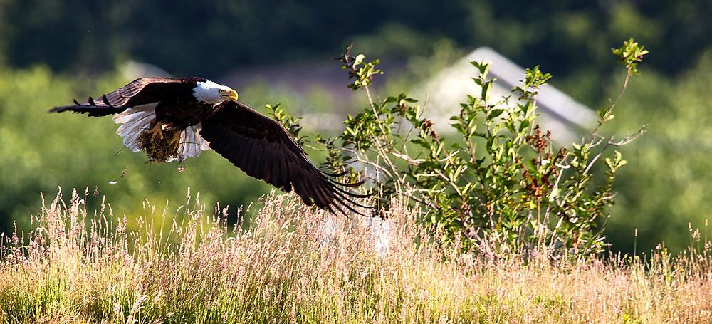 Bald Eagle making nest Port Hardy BC