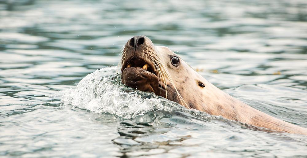 Seal swimming Dent island BC