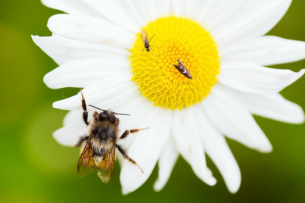 bee on a daisy BC