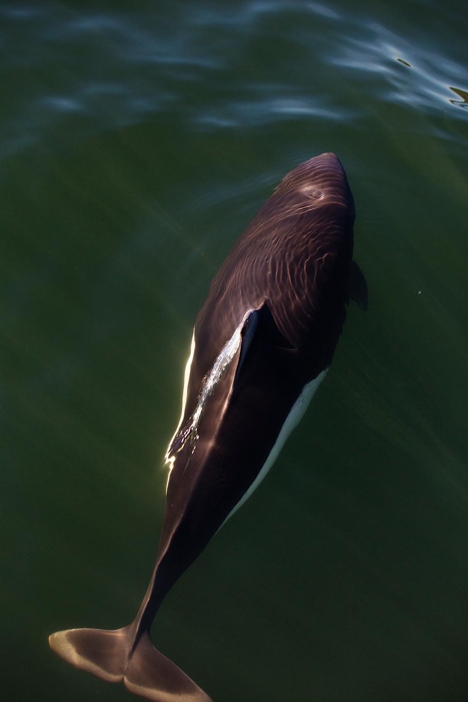 Dall Porpoise Frosty Bay Alaska