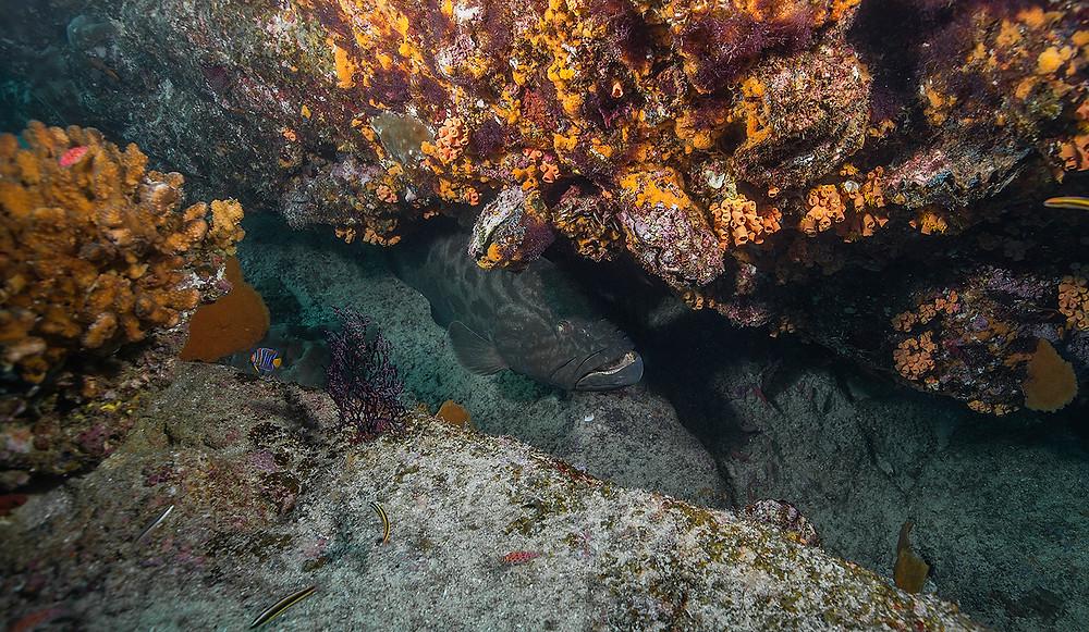 Grouper Cabo Pulmo Diving