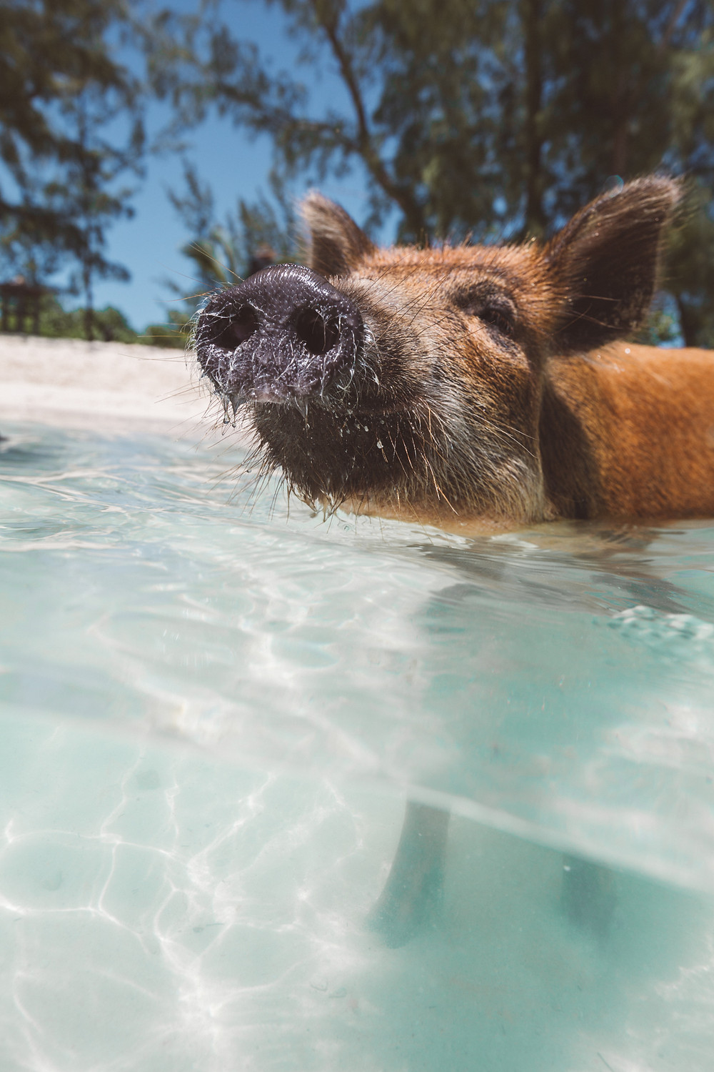 Swimming Pig Abacos