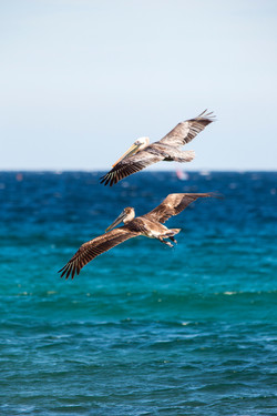 Nature Photography Pelicans