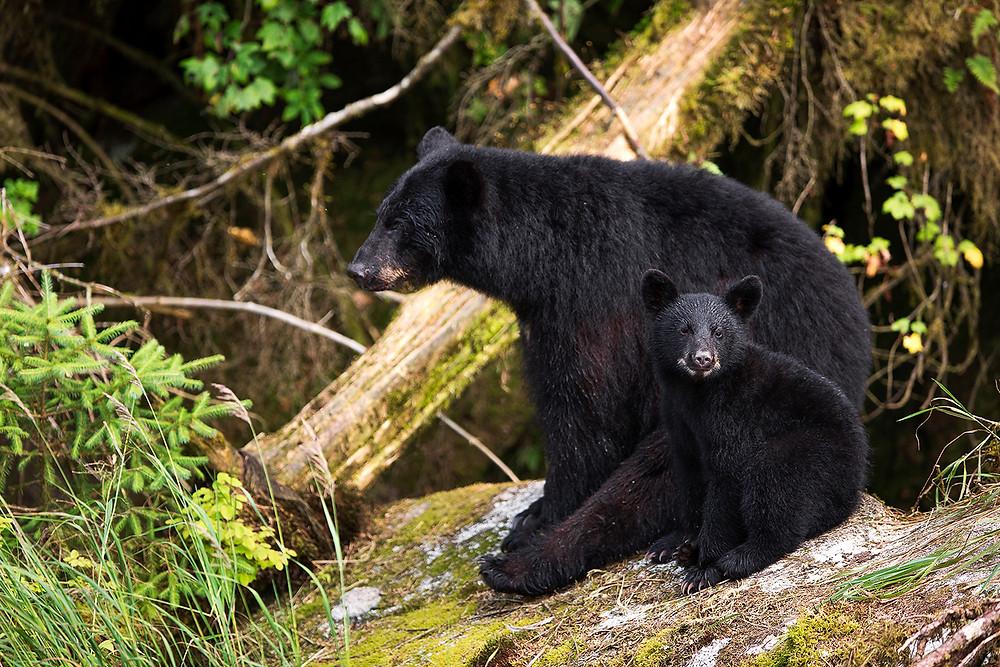 Black bear mother and baby, Alaska