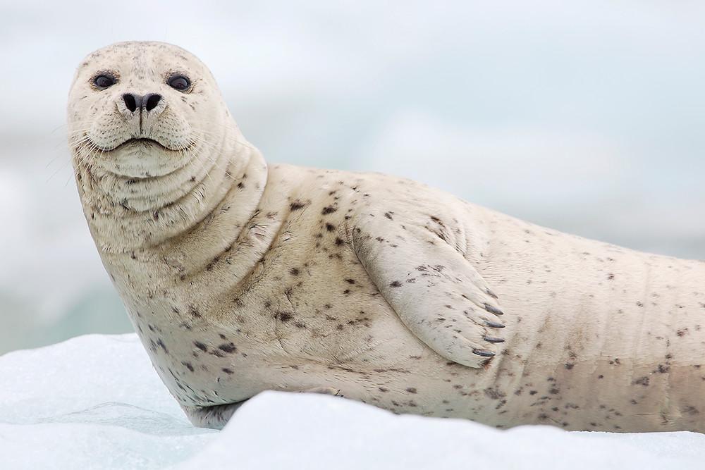 Seal Tracy Arm Fjord Alaska