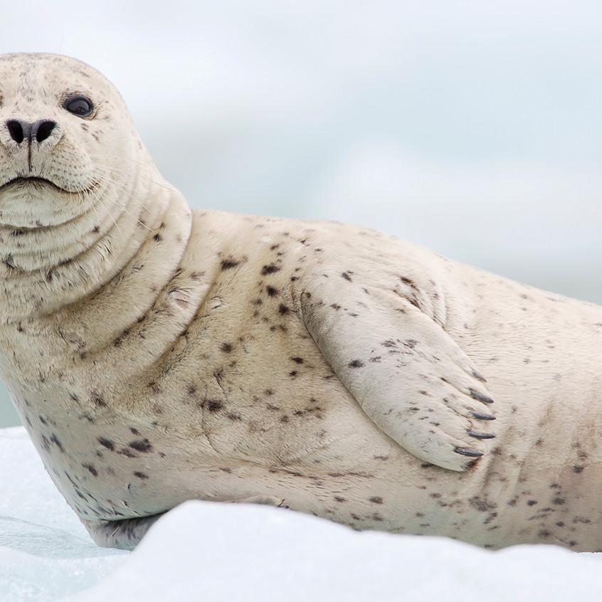 white seal copy