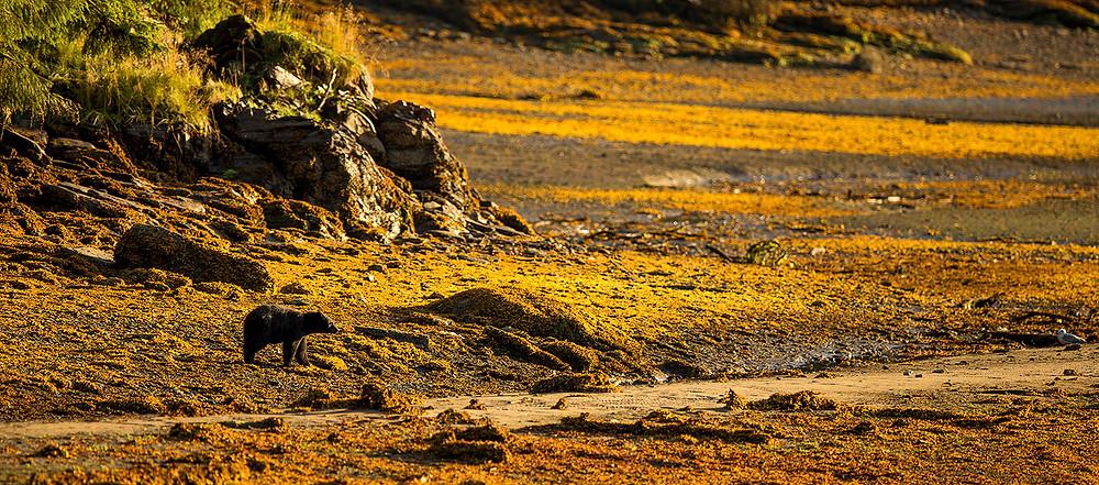 Bear landscape, Neets Bay AK