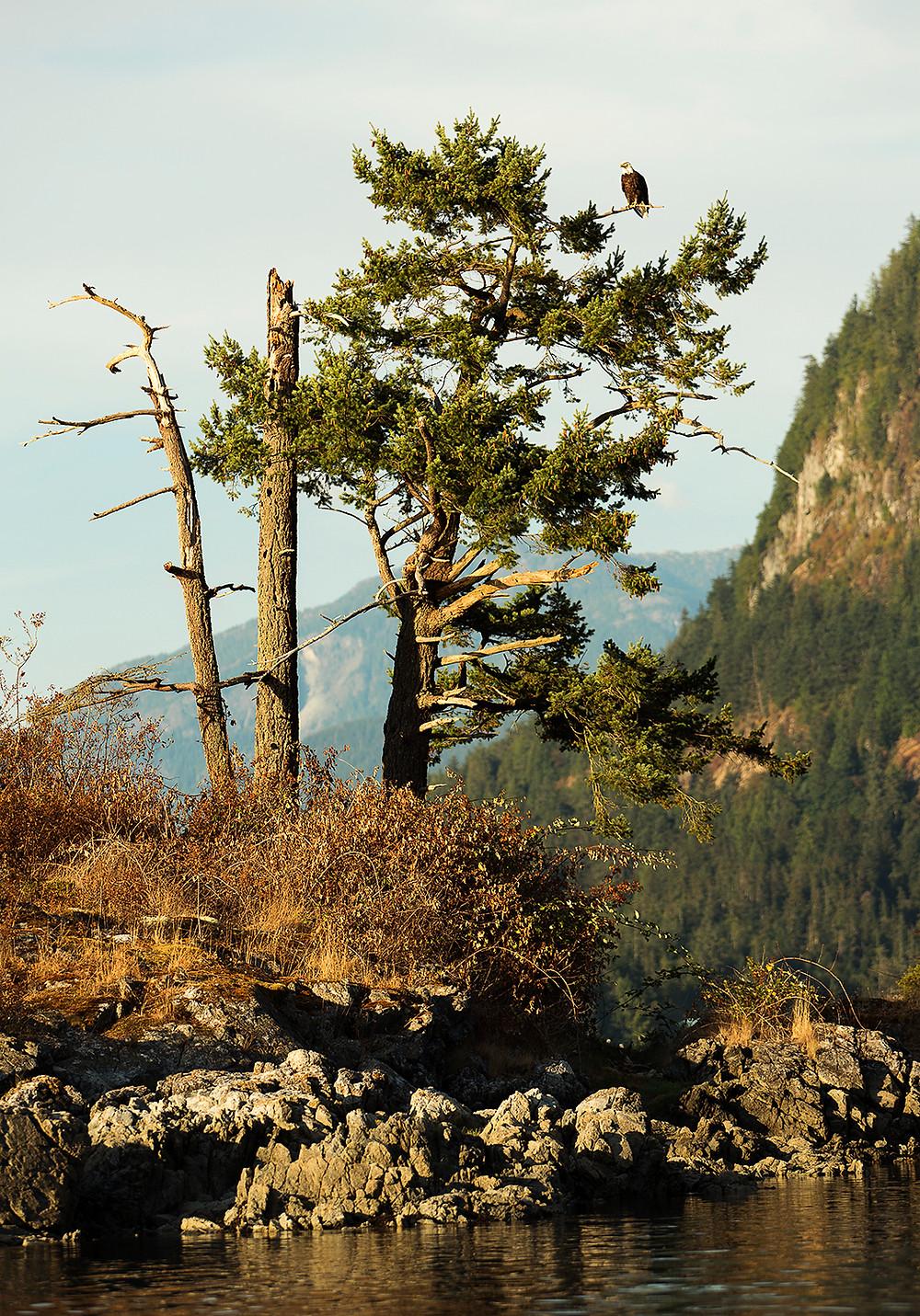 Tree with Eagle Dent Island British Columbia
