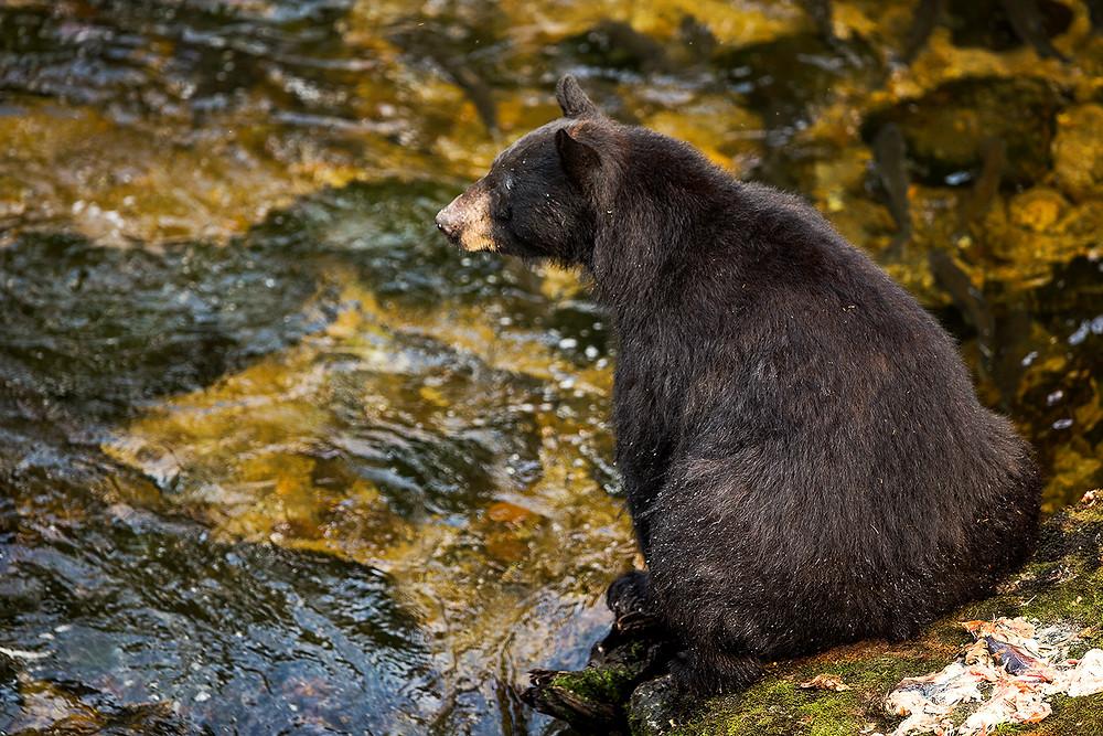 Black bear Anan Wildlife Observatory, Alaska