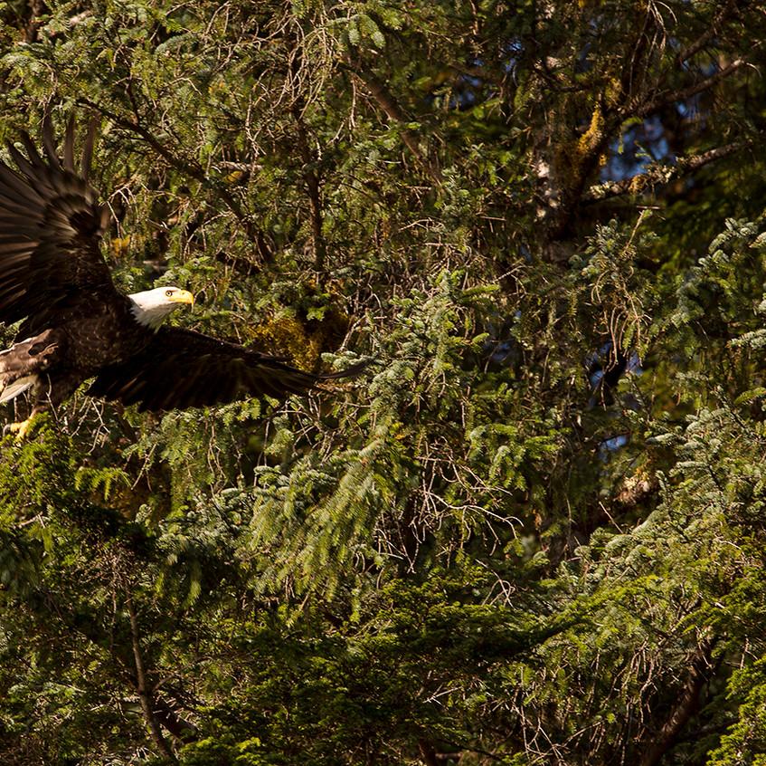 Eagle trees copy