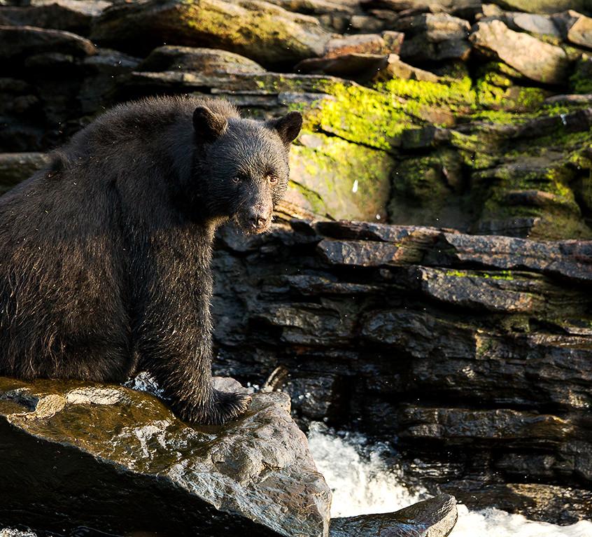 bear bear copy