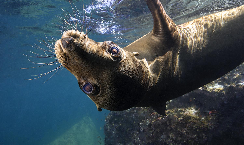 underwater photography Seal