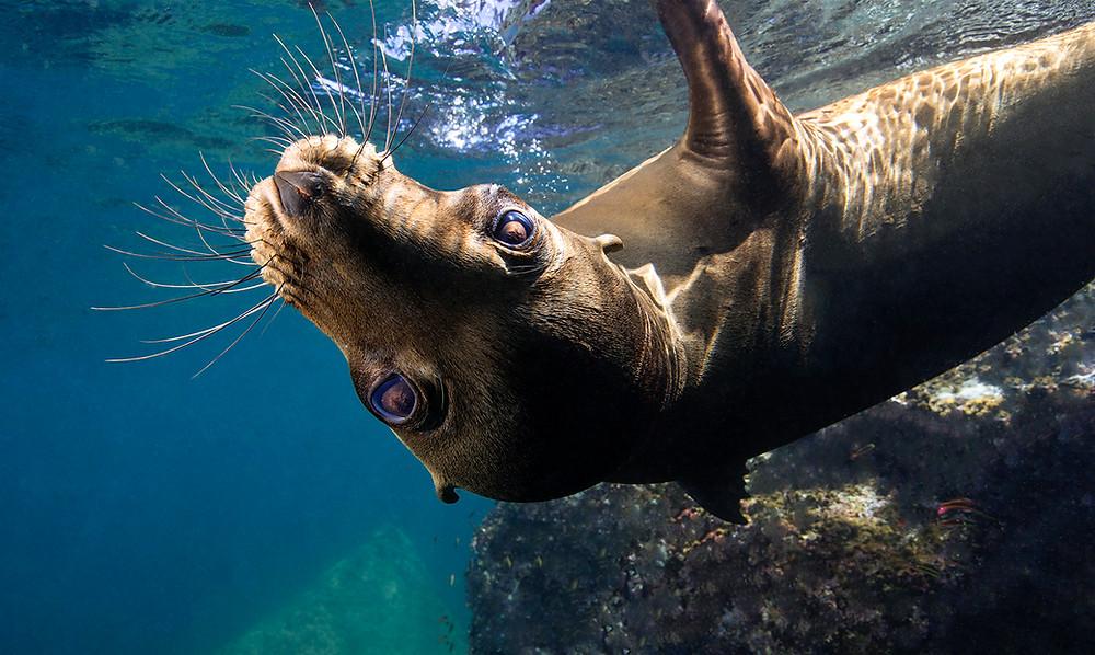 Sea Lion Swimming La Paz