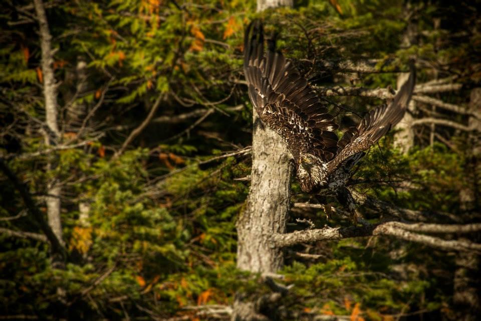 Eagle in Flight British Columbia Dent Island