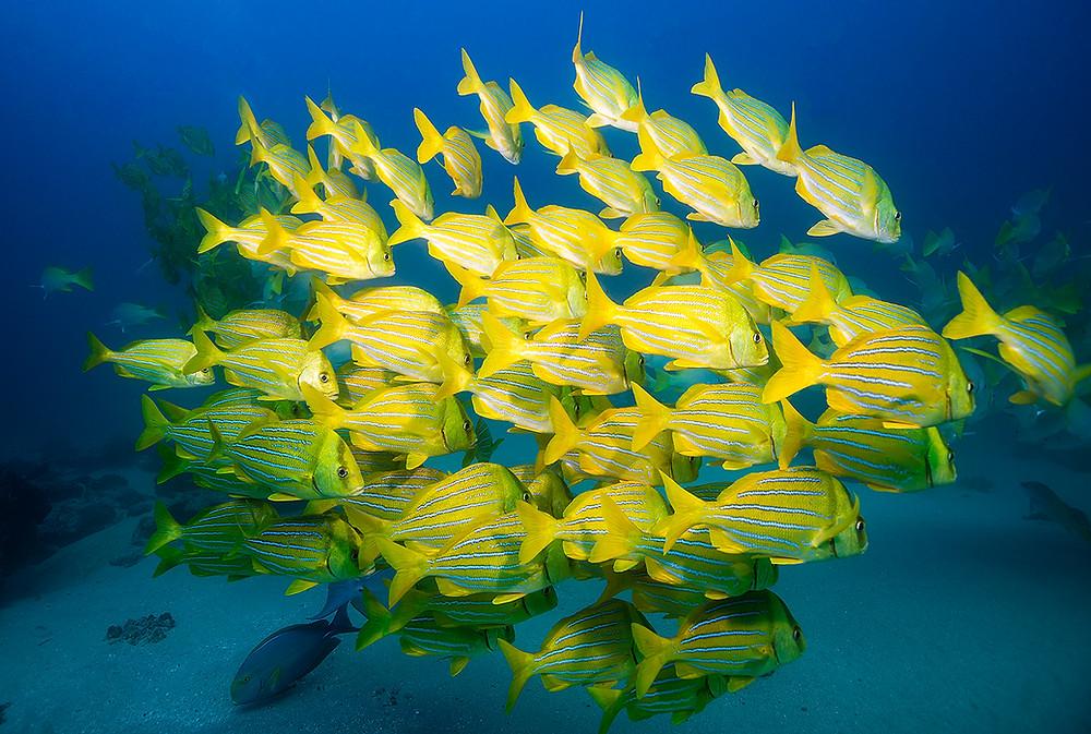 School of Fish Cabo Pulmo