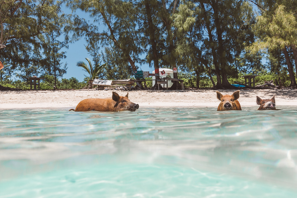 Swimming Pigs of No Name Cay
