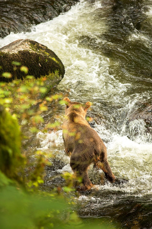 Grizzly bear Anan Wildlife observatory Alaska