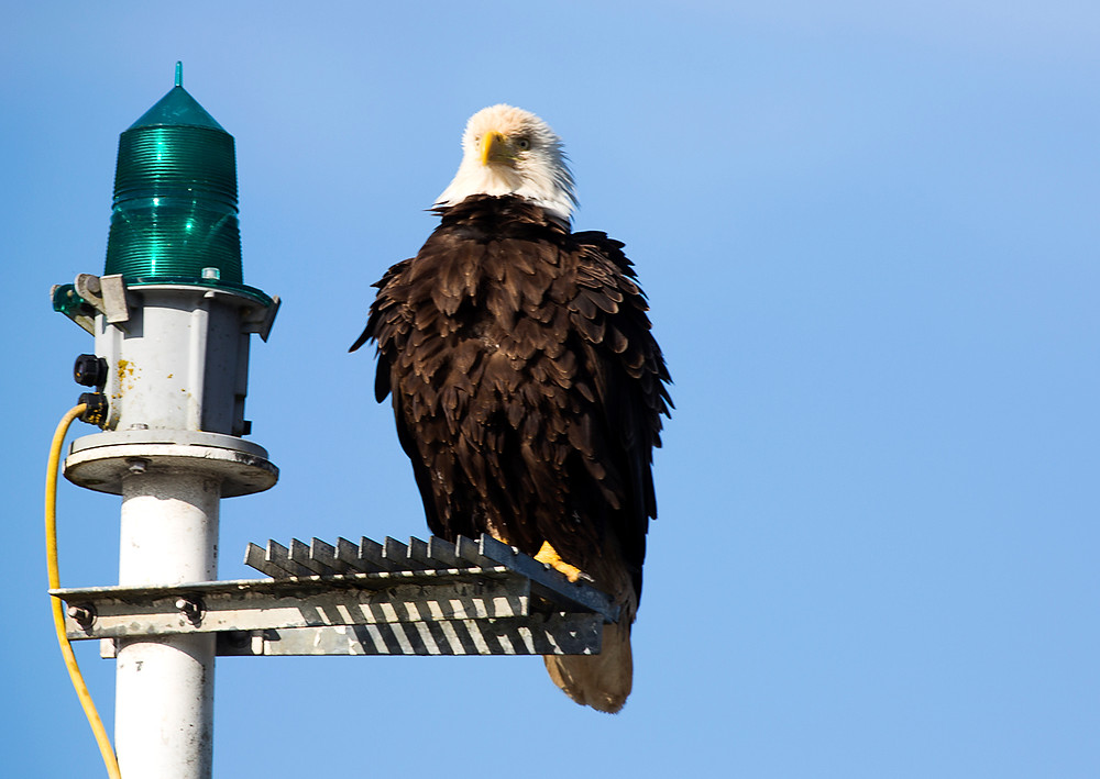 Bald Eagle channel marker of Port Hardy