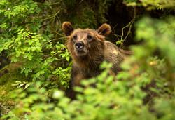 Travel Photography Alaska Bear