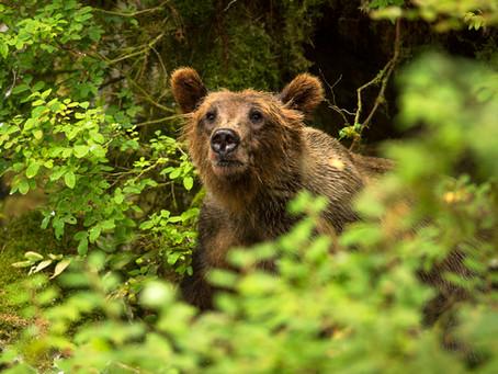 WRANGLING AROUND WITH BEARS