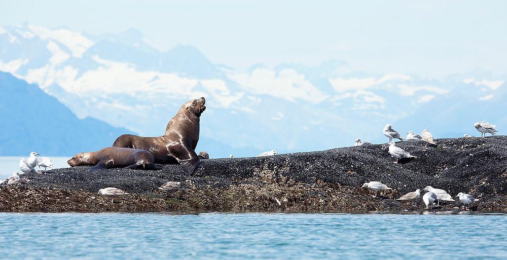 Sea Lions in Glacier Bay National Park