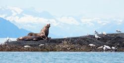 Travel Photography Alaska seals