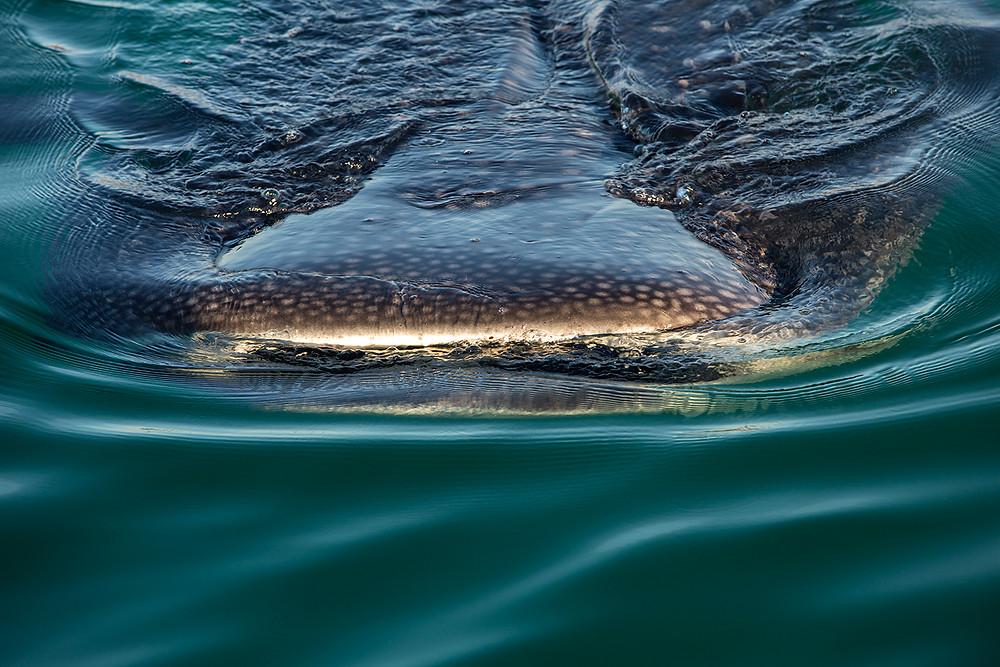 Whale Shark Feeding La Paz