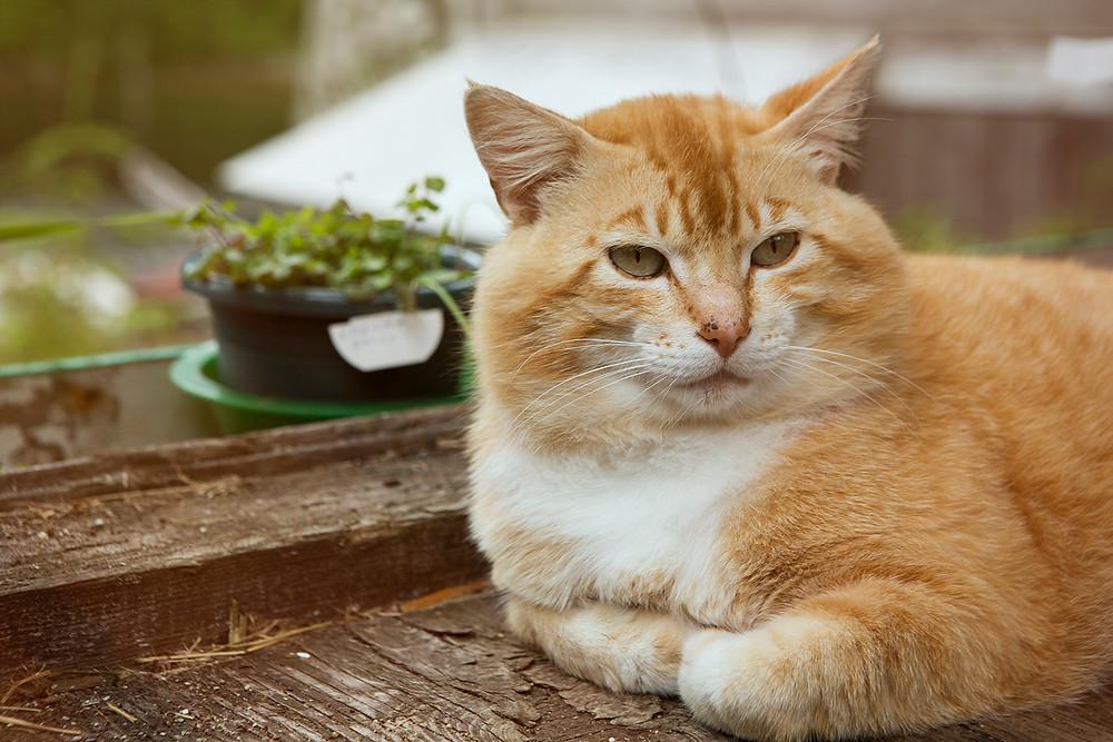 Orange Cat Canada