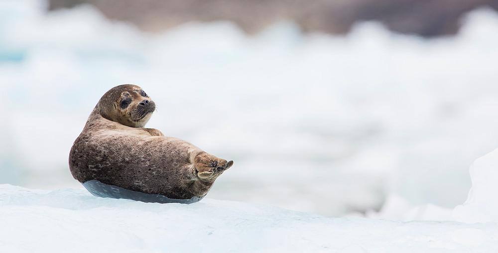 Seal on Iceberg Tracy Arm Alaska