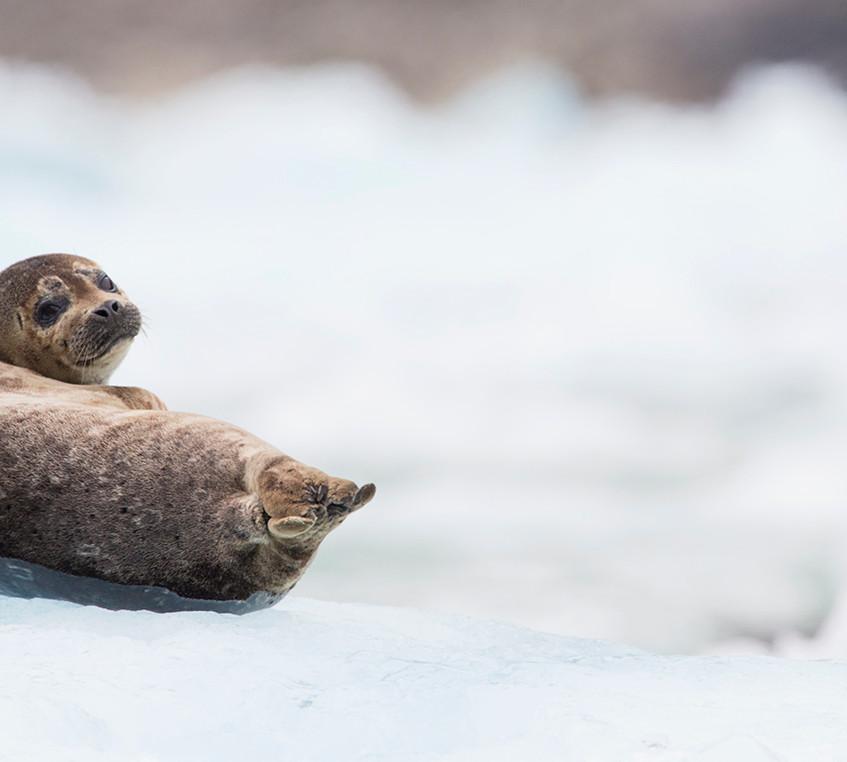 baby seal copy