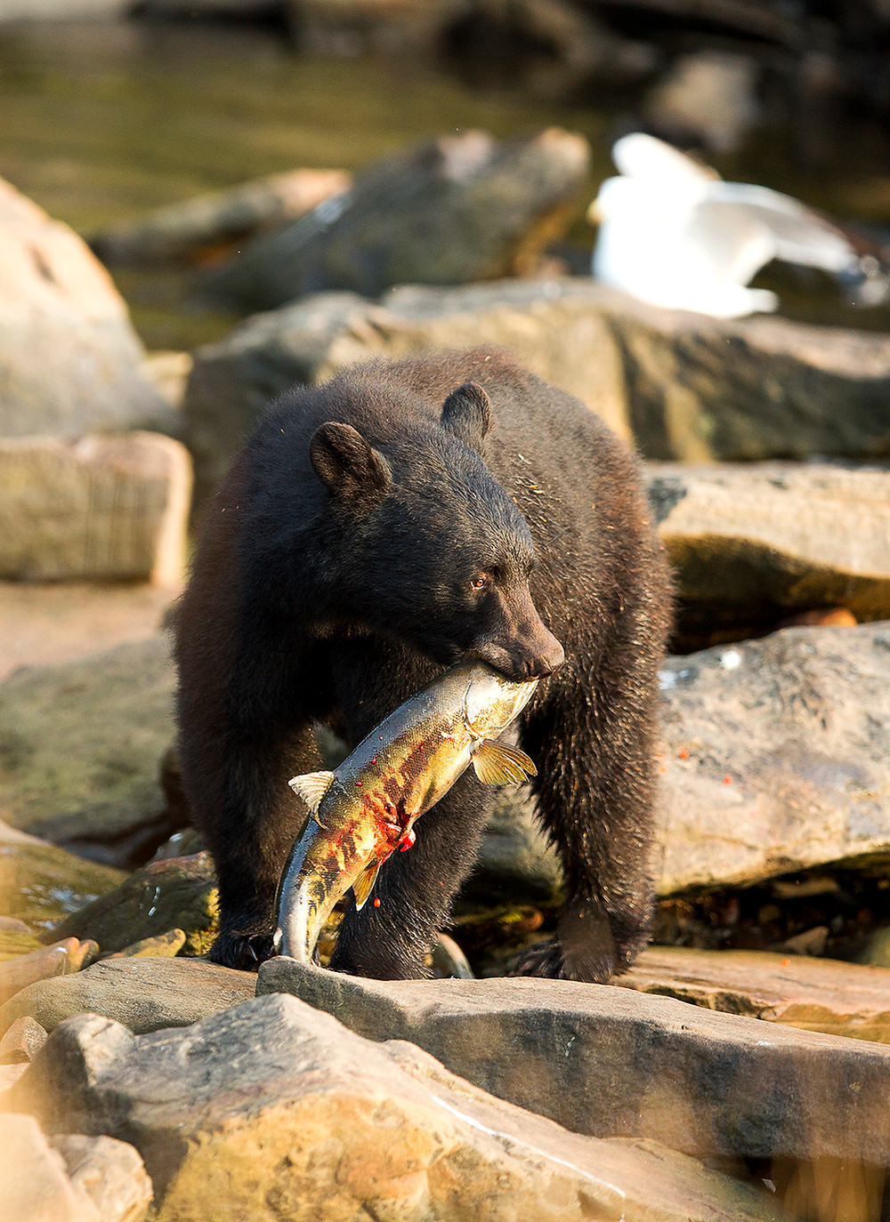 Black bear eating Salmon Neets Bay