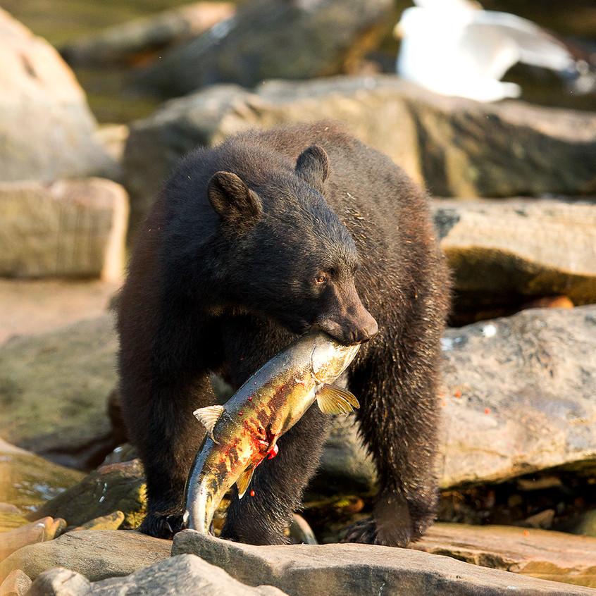 bear salmon copy