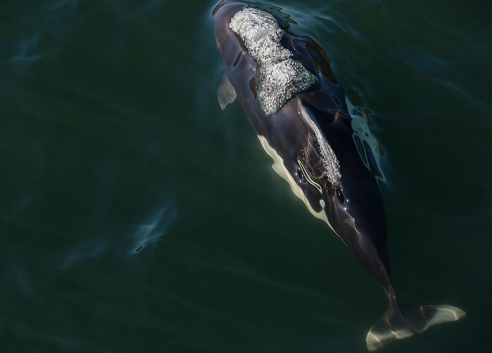Dall Porpoise Alaska