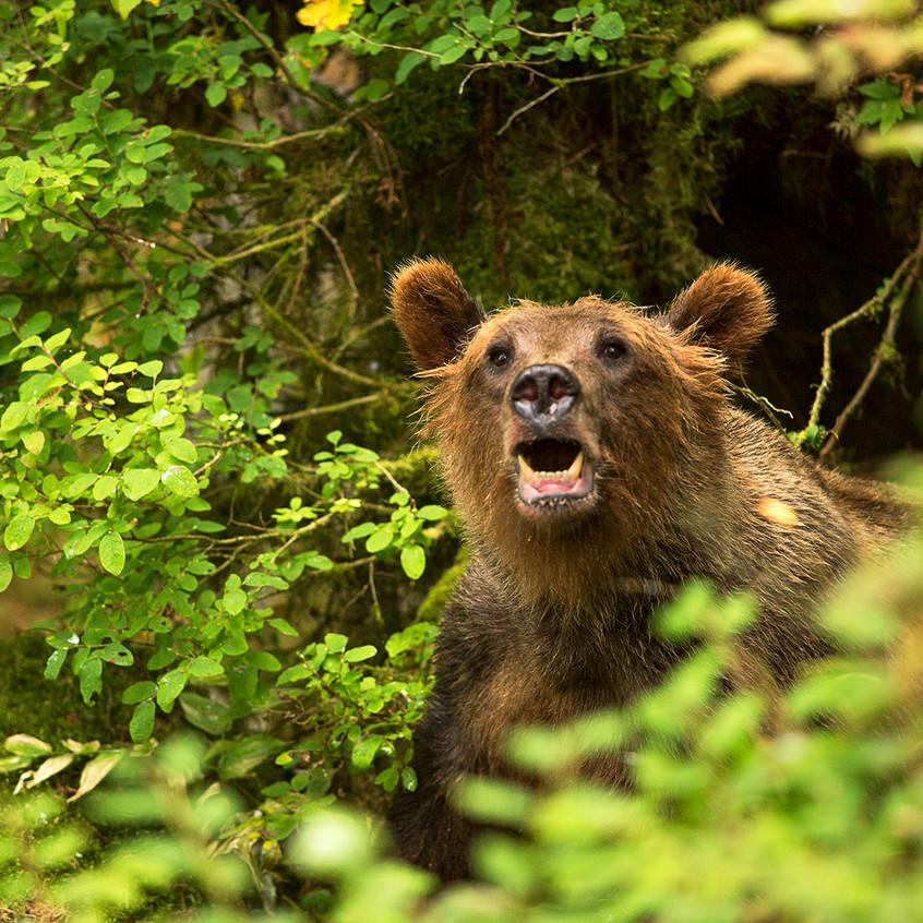 bear face2 copy